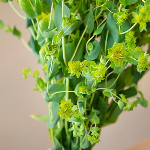 Bupleurum Flowering Greenery