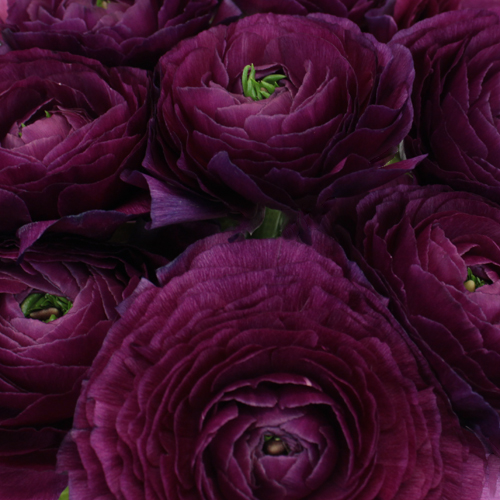 Purpleberry Italian Cloony Ranunculus