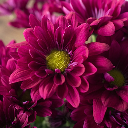 Burgundy daisy pom DIY wedding flowers