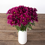 Burgundy daisy pom for free flower delivery
