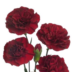 Burgundy Mini Carnation Flowers Up Close