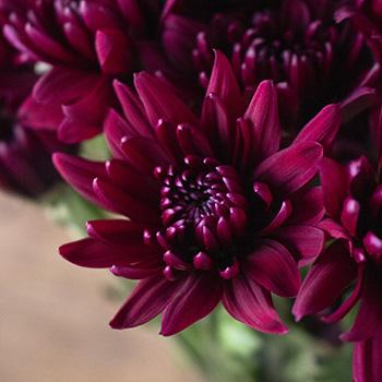 Burgundy pom DIY wedding flower