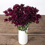 Burgundy pom for free flower delivery