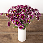 Burgundy and white daisy pom for free delivery