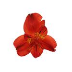 Burnt Red alstroemeria Wholesale Bloom