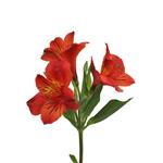Burnt Red alstroemeria Wholesale Flower Stem