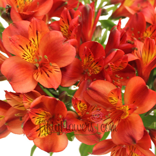 Burnt Red alstroemeria Wholesale Flower Upclose