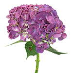Burst of Purple Berry Hydrangea Flower Stem View