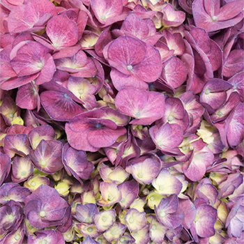 Burst of Purple Berry Hydrangea Flower