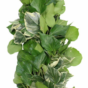 Bush Ivy Green Fresh Garland