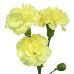 Butter Yellow Mini Carnation Stem