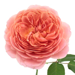 Cabbage Antique Pink Garden Rose Stem
