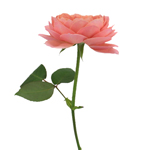 Cabbage Antique Pink Garden Rose Side Stem View
