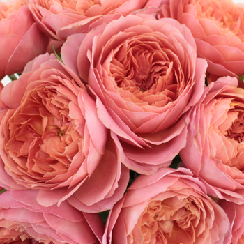Cabbage Antique Pink Garden Roses up close