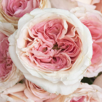 Cabbage Shell Rose Pink Roses up close