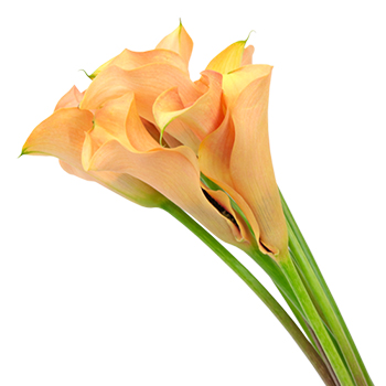 Passion Peach Coral Calla Lily Flower