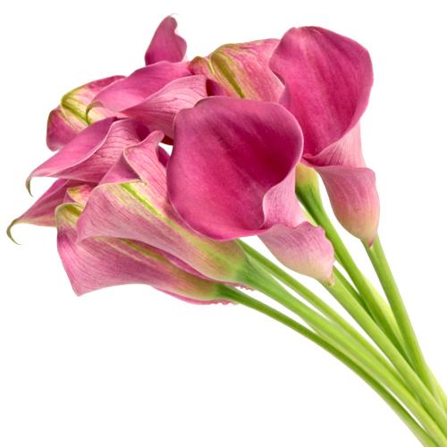 Magenta Mini Calla Lilies