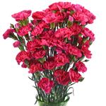 Campari Hot Pink Mini Carnation Flowers in a Vase