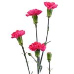 Campari Hot Pink Mini  Carnations side stem