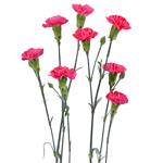 Campari Hot Pink Mini Carnation Flower In a hand