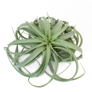 Capitata Xerographica Giant Air Plant