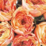 The orange caraluna garden rose has ruffled petals that resemble peonies
