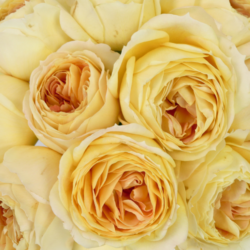 Caramel Antique Garden Roses up close