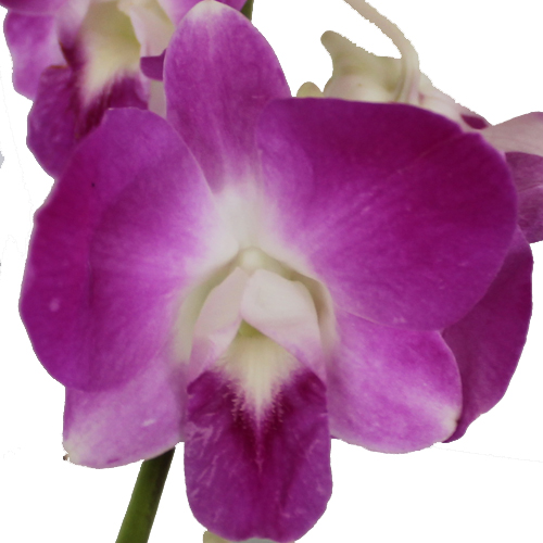 Caribbean Flirt Loose Orchid Blooms