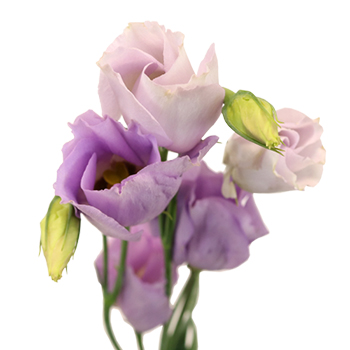 Lavender Single Lisianthus Flower