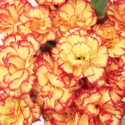 Bicolor Yellow and Orange Mini Carnation Flowers