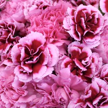Fierce Pink Carnation Mix Pack