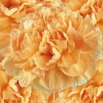 Caroline Gold Wholesale Carnations Up close