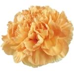 Caroline Gold Carnations bloom