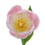 Casablanca Cream Double Tulip Wholesale Flower Up close