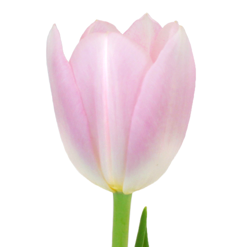 Casablanca Cream Double Tulips Wholesale Flower Side Stem