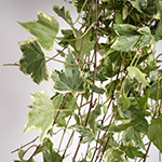 Wedding greenery cascading variegated ivy filler flower sold near me