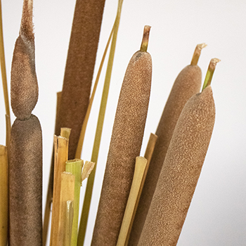 Cattail Bulk Filler Flower