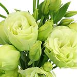 Celeb Green Lisianthus Wholesale Flower Upclose
