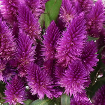 Purpleberry Feather Celosia Flower