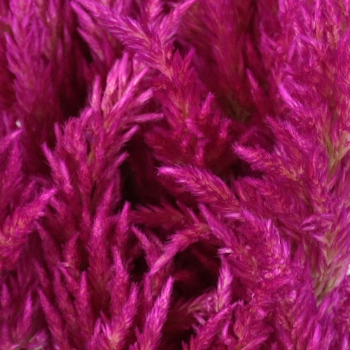 Crushed Berry Feather Celosia Flower