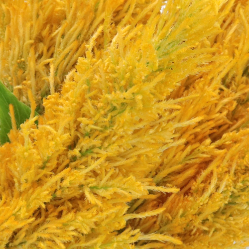 Golden Yellow Feather Celosia