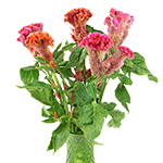 Coxcomb Pink Wholesale Flowers