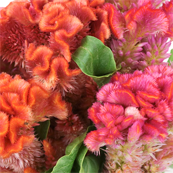 Hues of Coral Brain Celosia Flowers