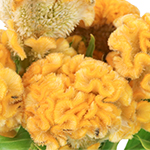 Brain Celosia Bulk Yellow Flowers