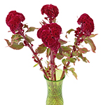 Coxcomb Fresh Dark Red Flowers