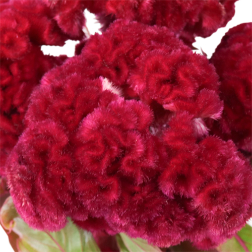 Celosia Fresh Dark Red Flowers
