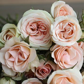 Chablis Light Pink Spray Roses up close