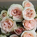 Chablis Light Pink Spray Roses up close
