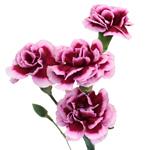 Chameleon Pink Mini Carnation Stem