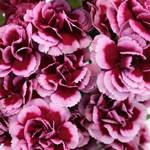 Chameleon Pink Wholesale Carnations Up close